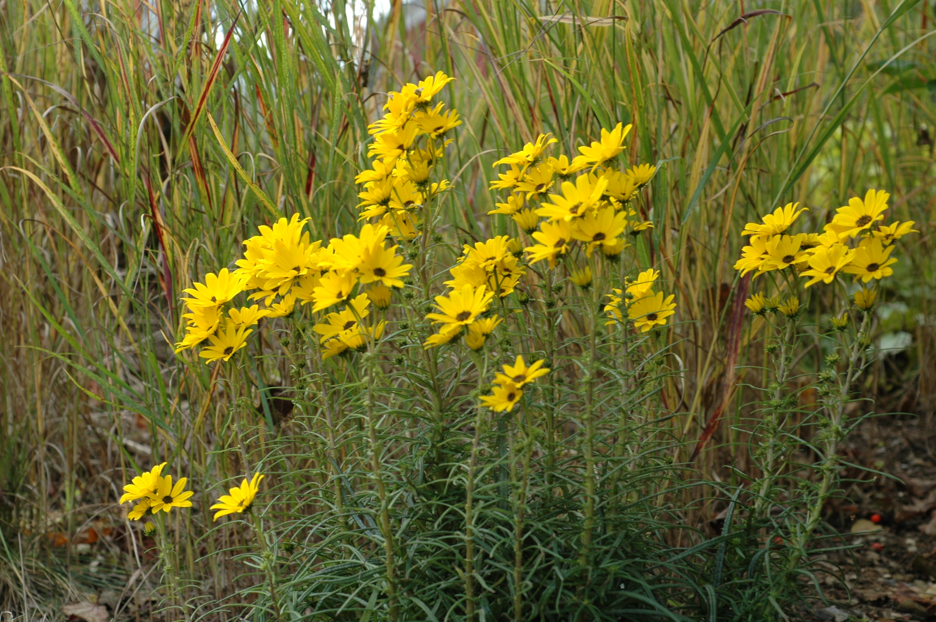 Very Low Light Plants Helianthus Salicifolius Www Pixshark Com Images